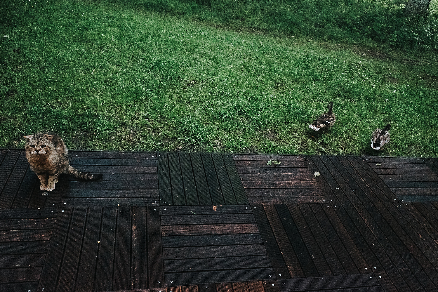CAT IN GARDEN IGNORING TWO DUCKS NEARBY FAMILY PHOTOGRAPHY AT CENTER PARCS FRANCE LAC D'AILETTE